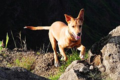 Santo Antão : Pico da Cruz Lombo Carrosco : dog : Nature Animals