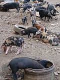 São Vicente : Fundo de Manelin : pig farming : Nature Animals
