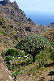 São Nicolau : Fragata Cruzinha : dragon tree : Nature Plants