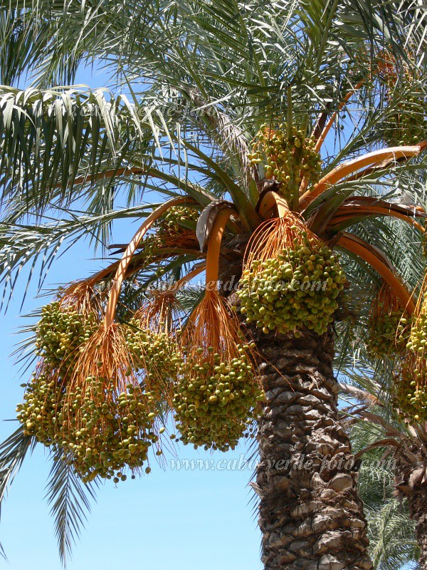 São Vicente : Mindelo : palm tree : Nature Plants