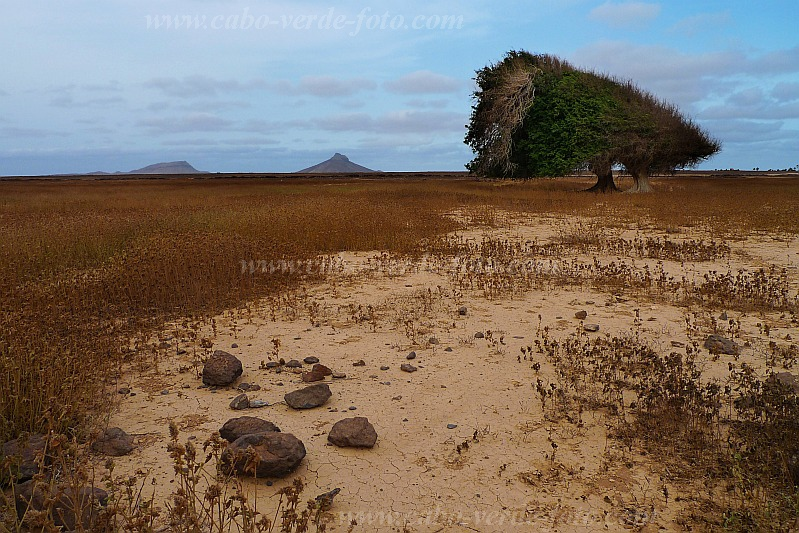 Boa Vista : Fonte Vicente : trees shaped by  tradewinds : Landscape Desert